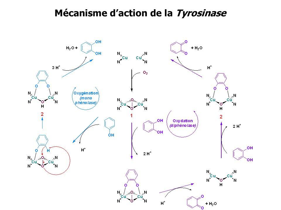 Mécanisme d'action de la Tyrosinase