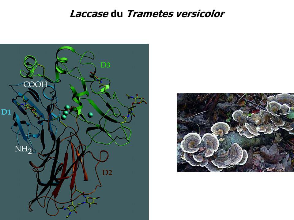Laccase du Trametes versicolor