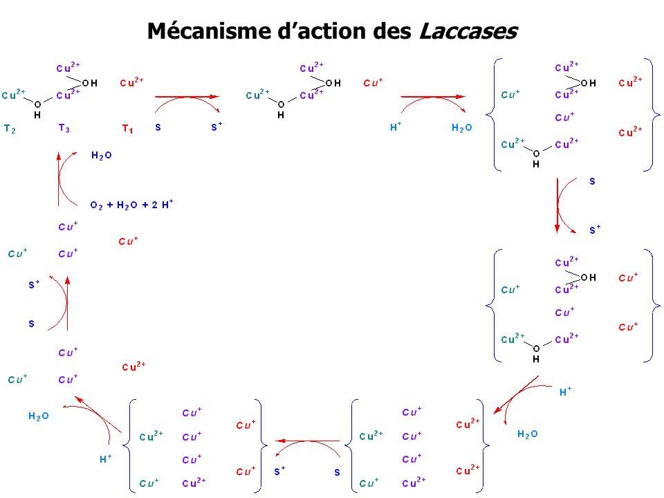 Mécanisme d'action des Laccases
