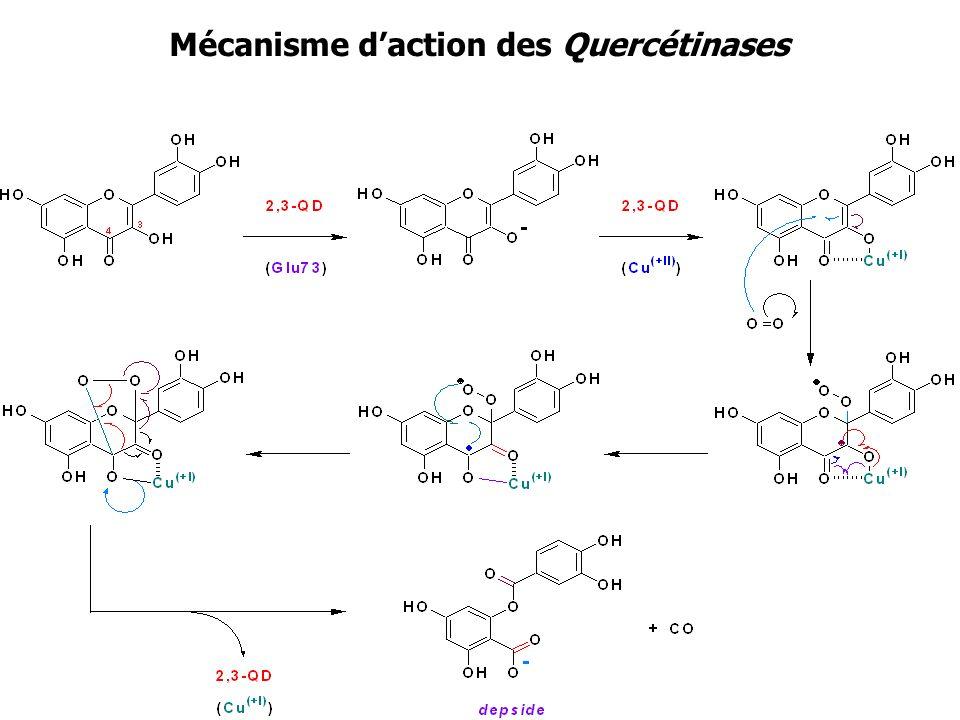 Mécanisme d'action des Quercétinases