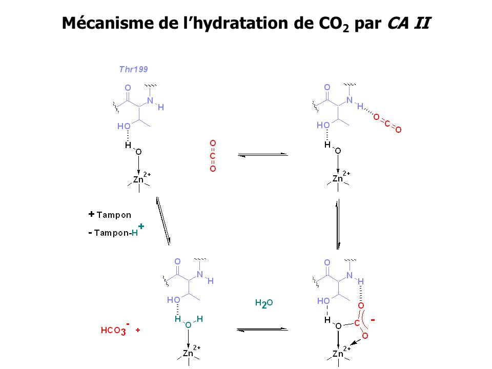 Mécanisme de l'hydratation de CO2 par CA II