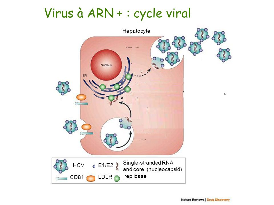 Virus à ARN + : cycle viral