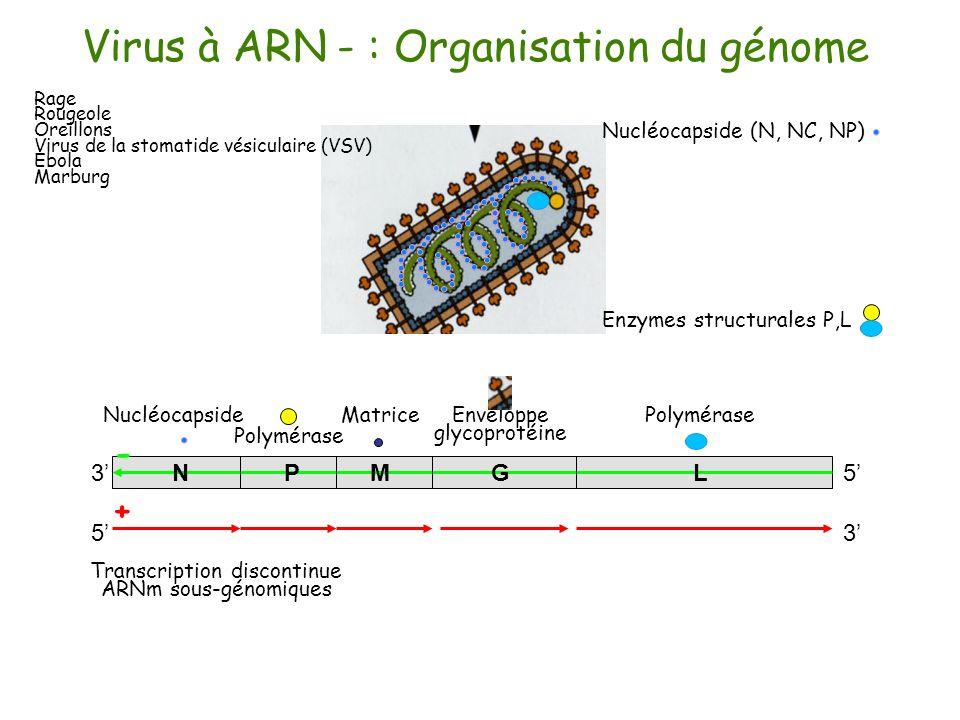 Virus à ARN - : Organisation du génome