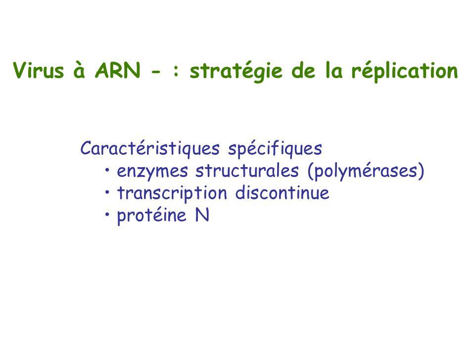 Virus à ARN - : stratégie de la réplication