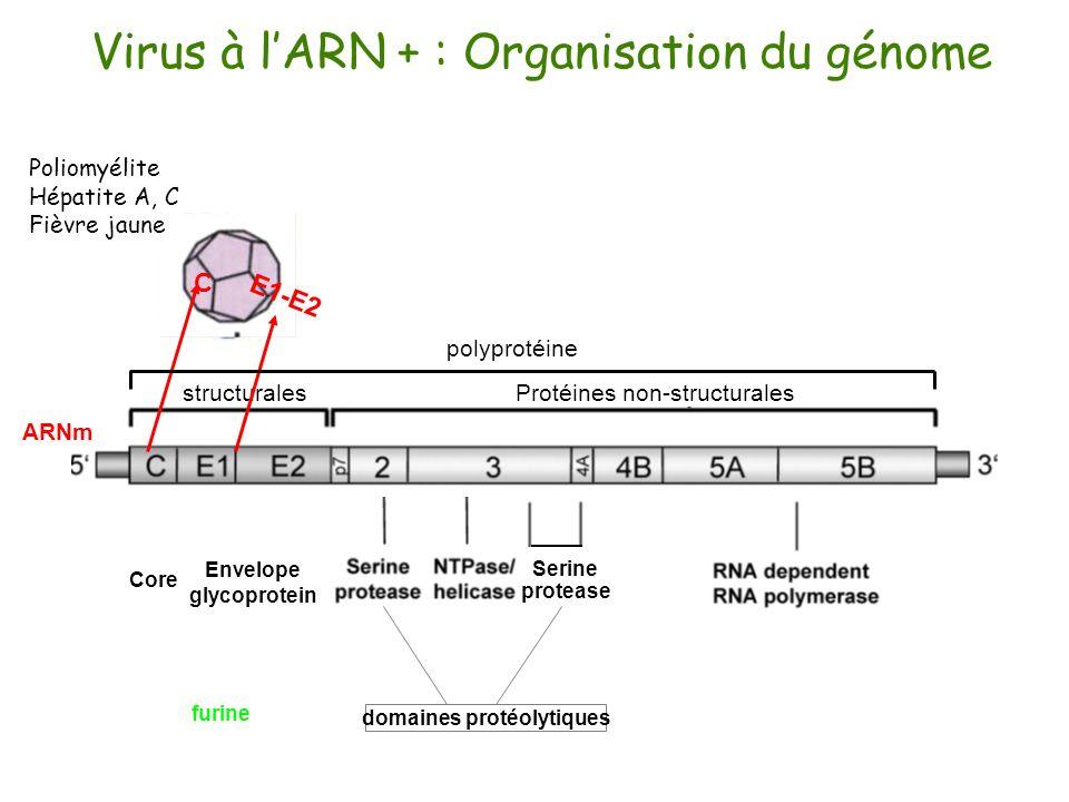 domaines protéolytiques