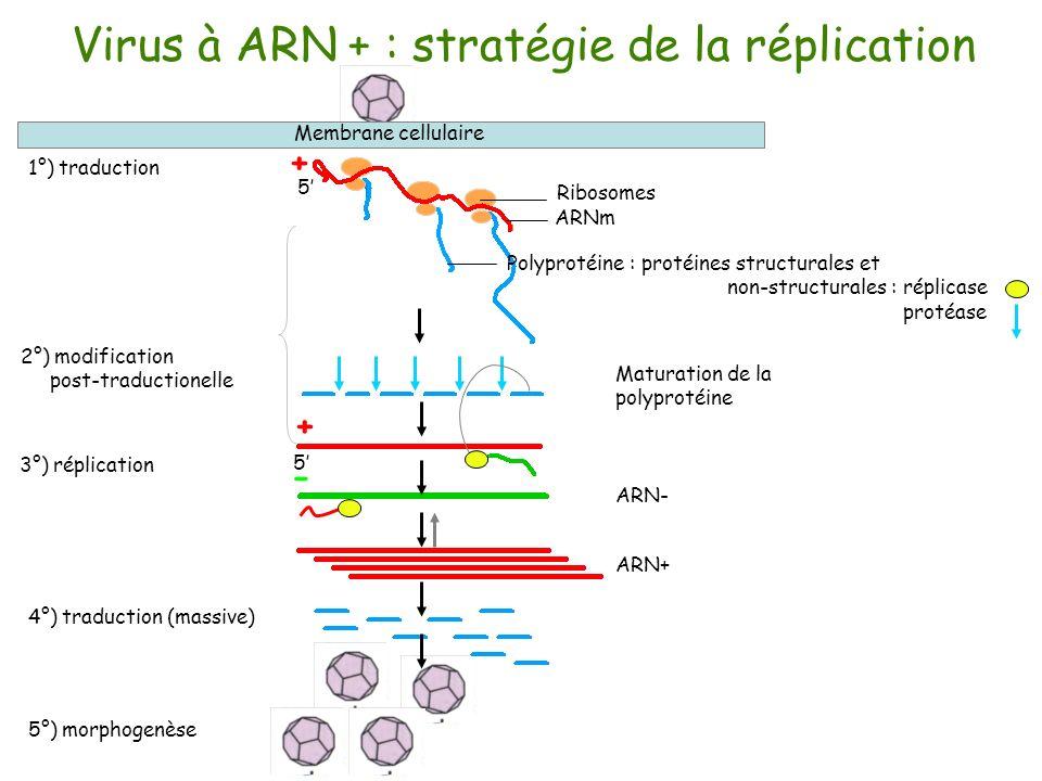 Virus à ARN + : stratégie de la réplication