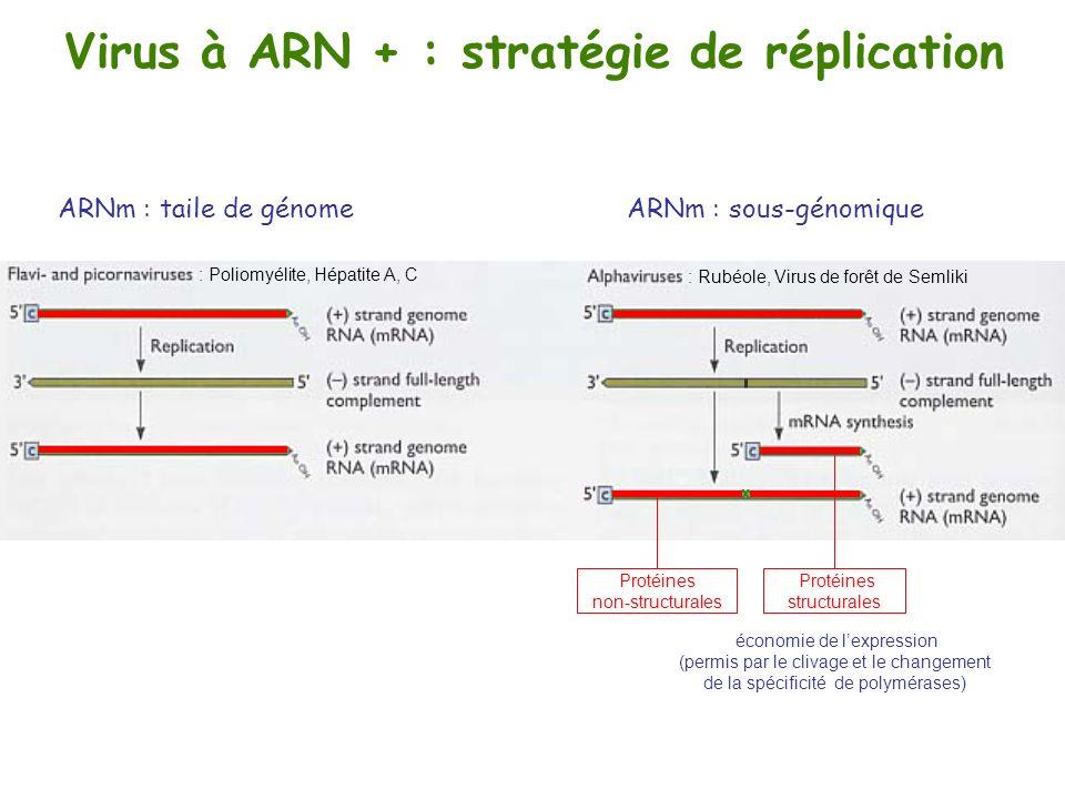 Virus à ARN + : stratégie de réplication