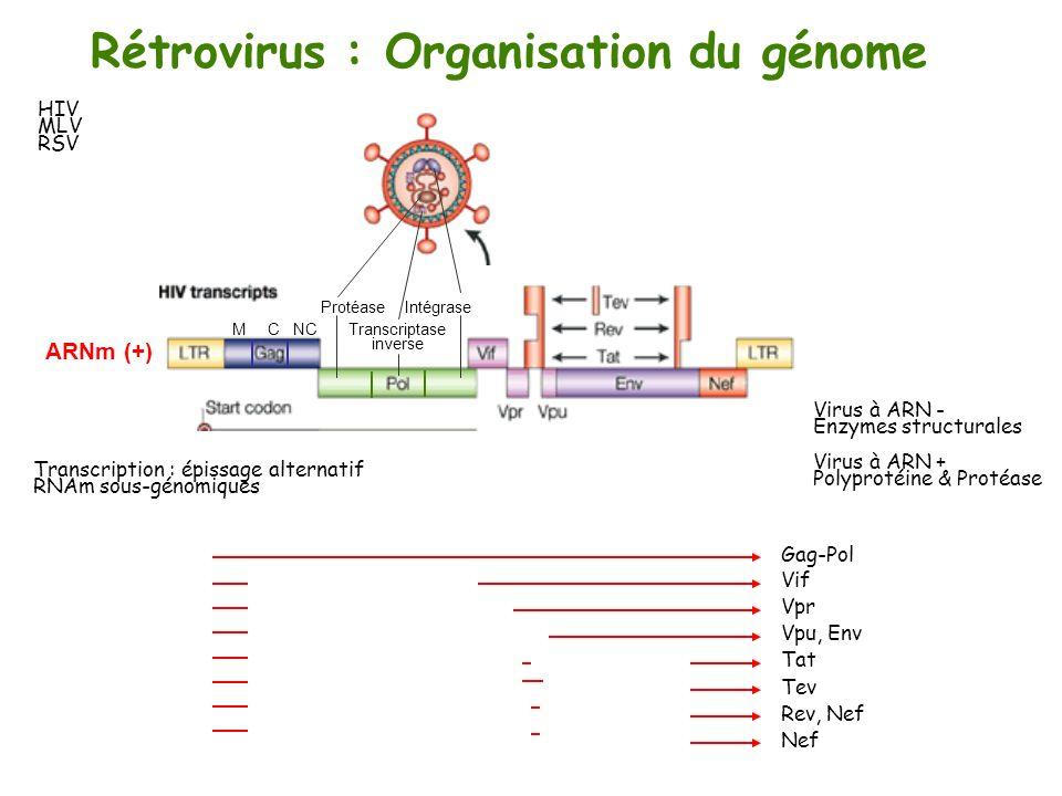 Rétrovirus : Organisation du génome