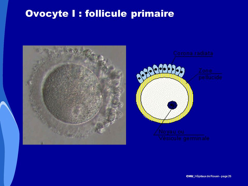 Ovocyte I : follicule primaire