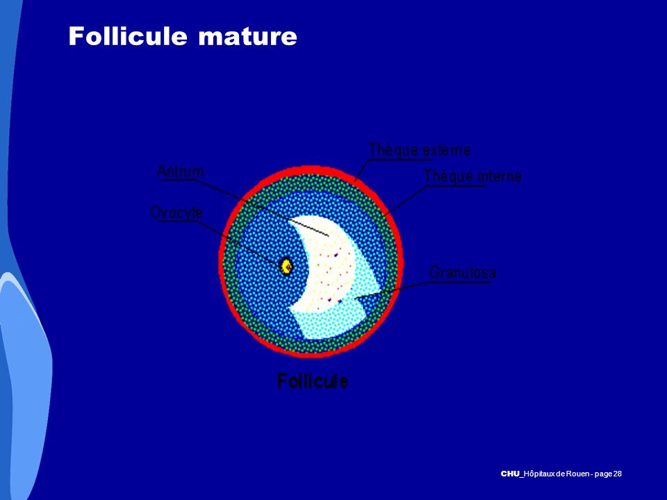 Follicule mature