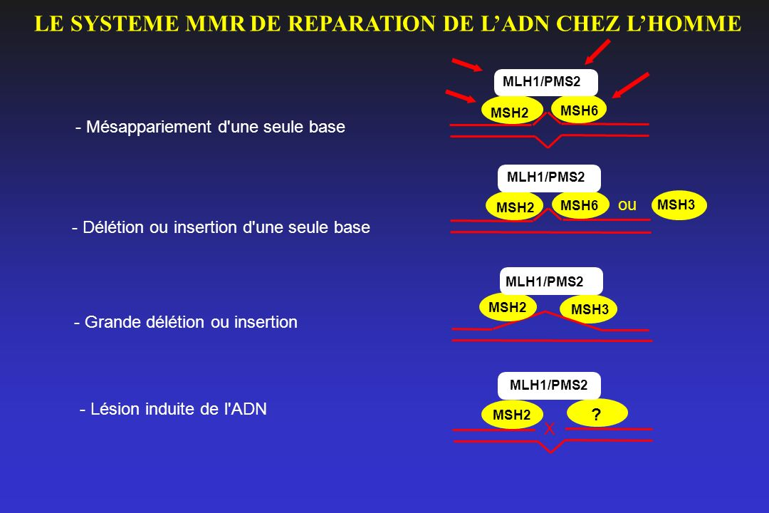 LE SYSTEME MMR DE REPARATION DE L'ADN CHEZ L'HOMME