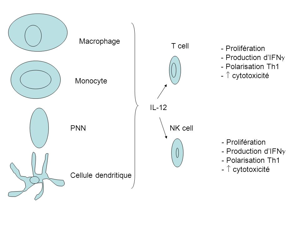 Macrophage T cell. - Prolifération. - Production d'IFN - Polarisation Th1. -  cytotoxicité. Monocyte.