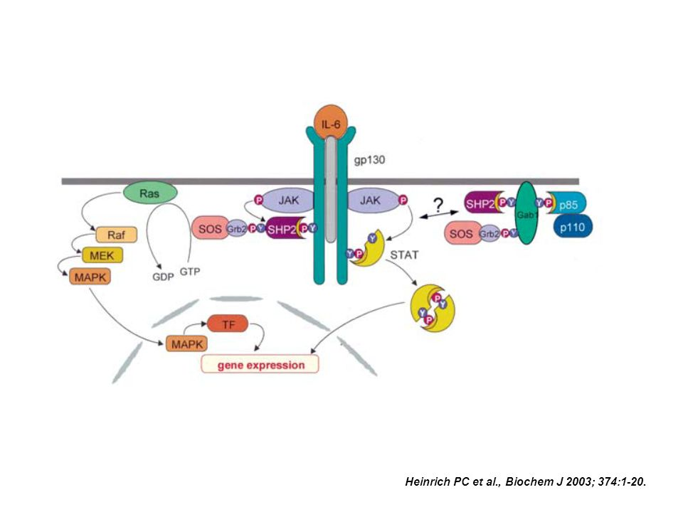 Heinrich PC et al., Biochem J 2003; 374:1-20.