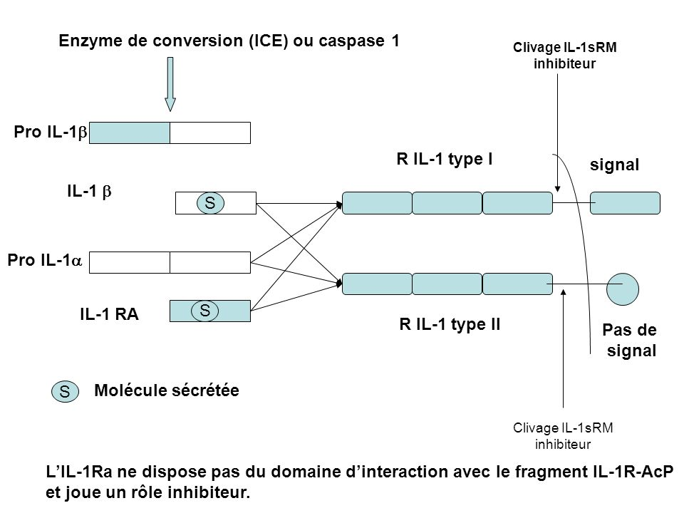 Enzyme de conversion (ICE) ou caspase 1