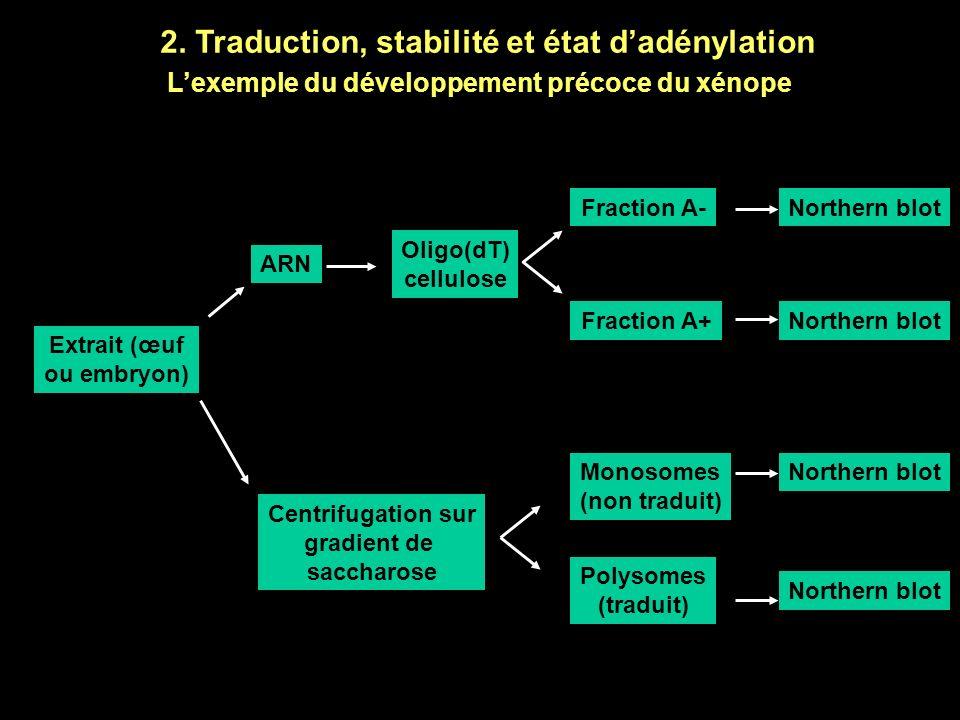 2. Traduction, stabilité et état d'adénylation