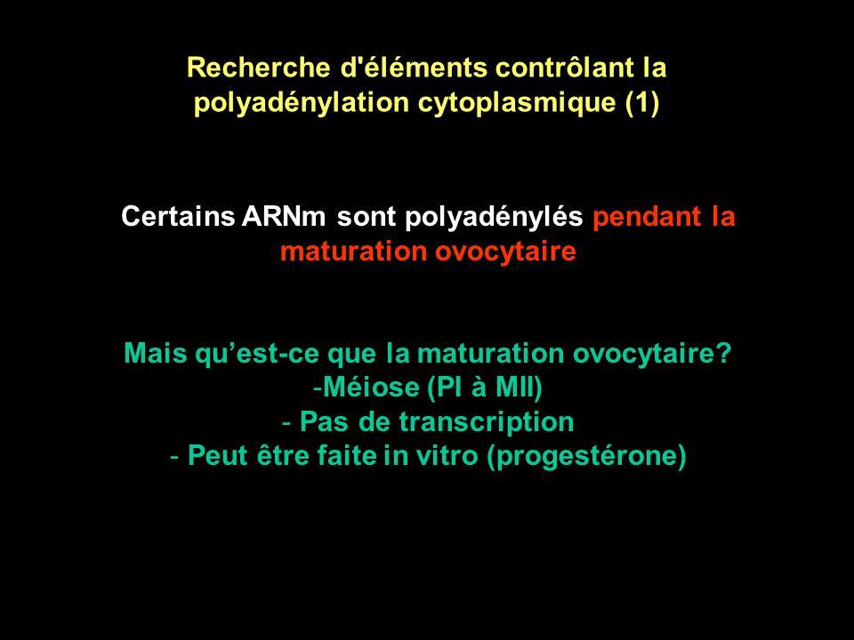 Recherche d éléments contrôlant la polyadénylation cytoplasmique (1)
