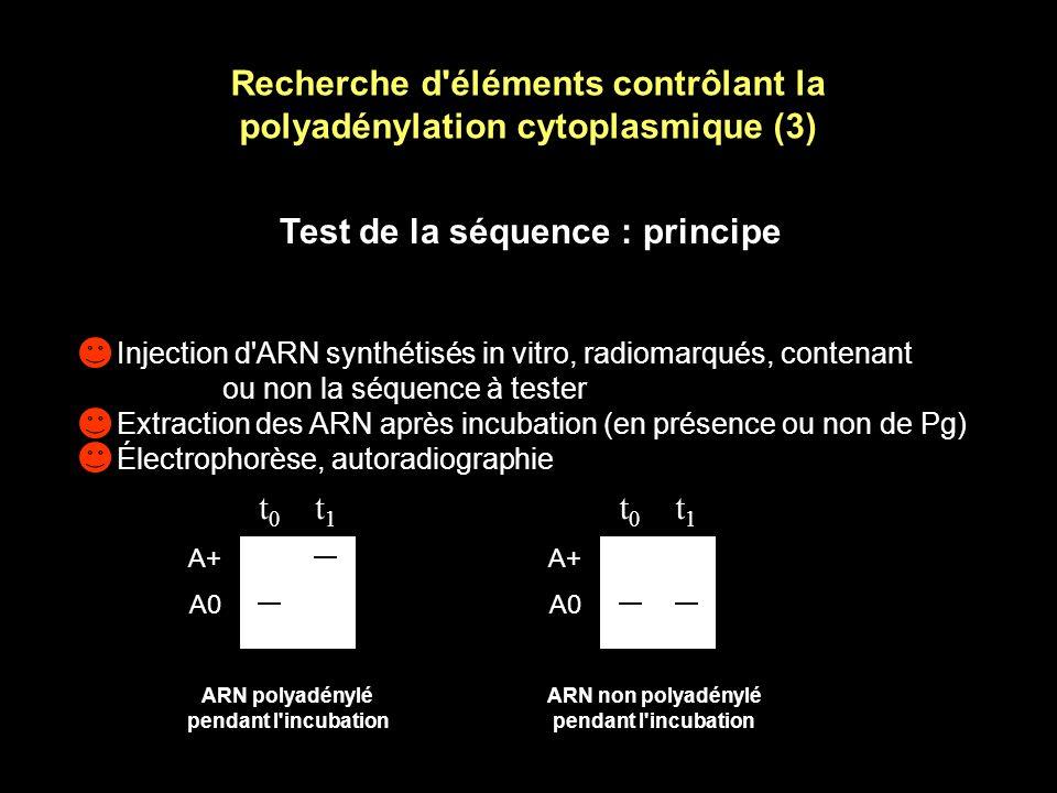 Recherche d éléments contrôlant la polyadénylation cytoplasmique (3)
