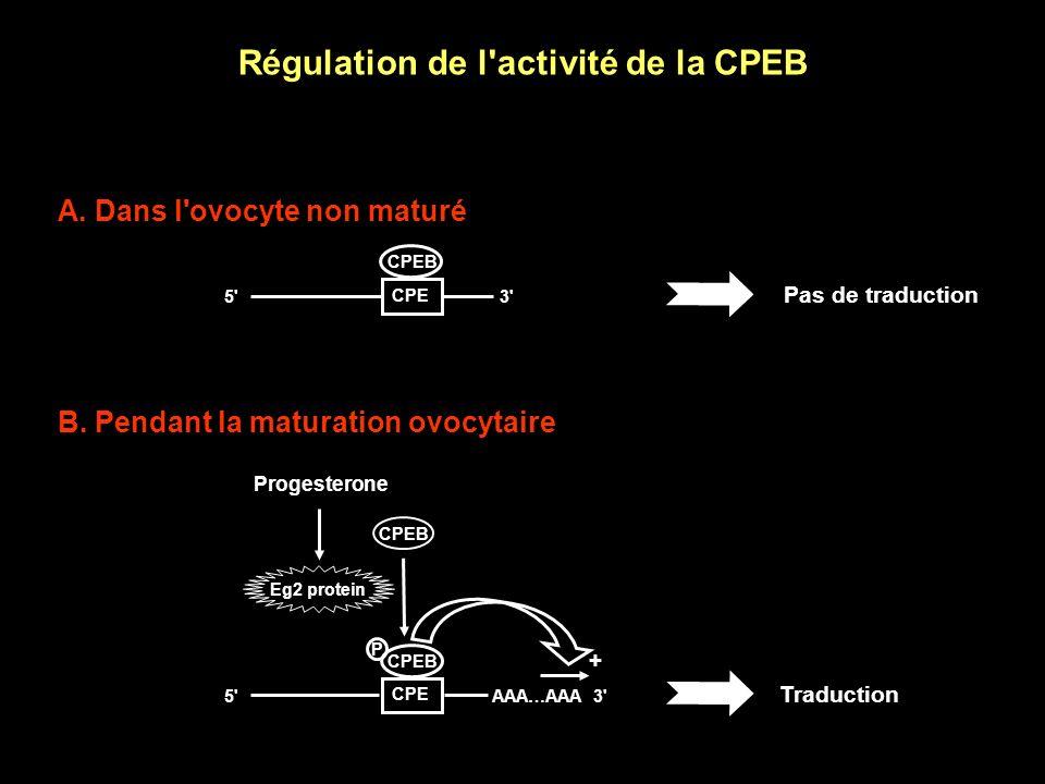 Régulation de l activité de la CPEB