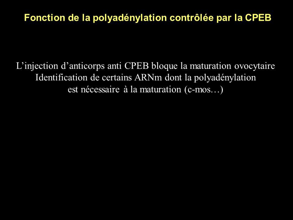 Fonction de la polyadénylation contrôlée par la CPEB