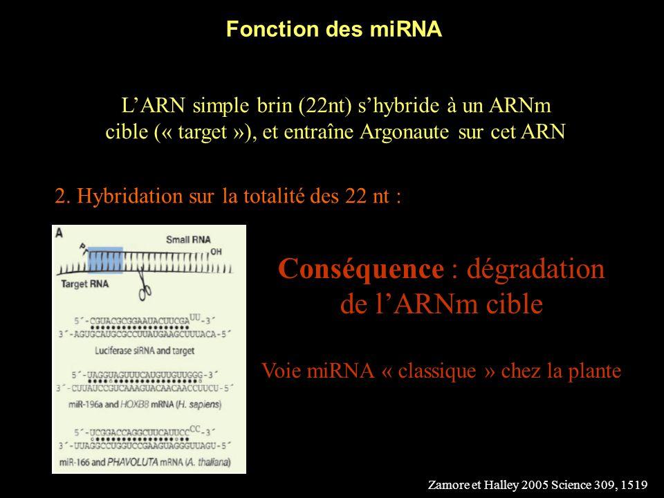 Conséquence : dégradation de l'ARNm cible