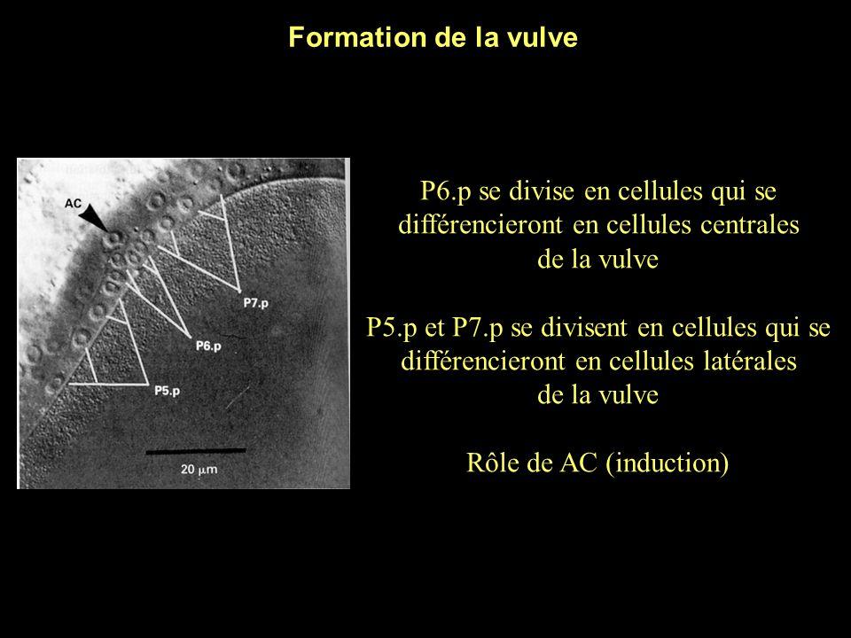 * Formation de la vulve P6.p se divise en cellules qui se