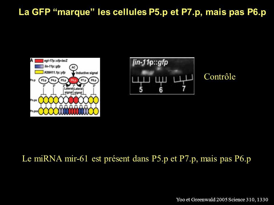La GFP marque les cellules P5.p et P7.p, mais pas P6.p
