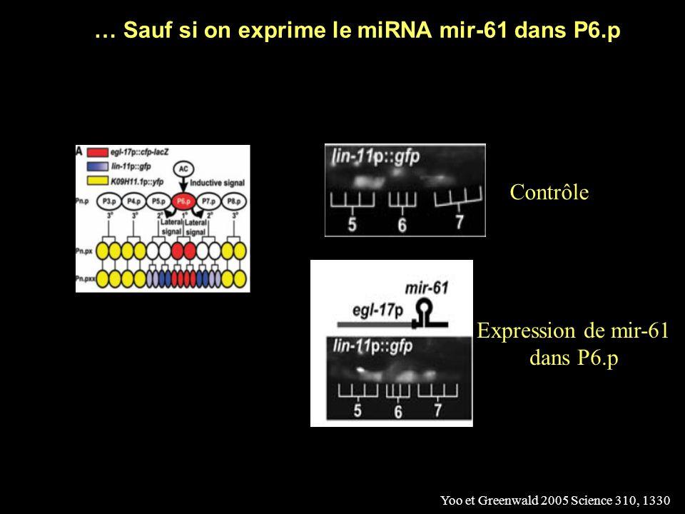 … Sauf si on exprime le miRNA mir-61 dans P6.p