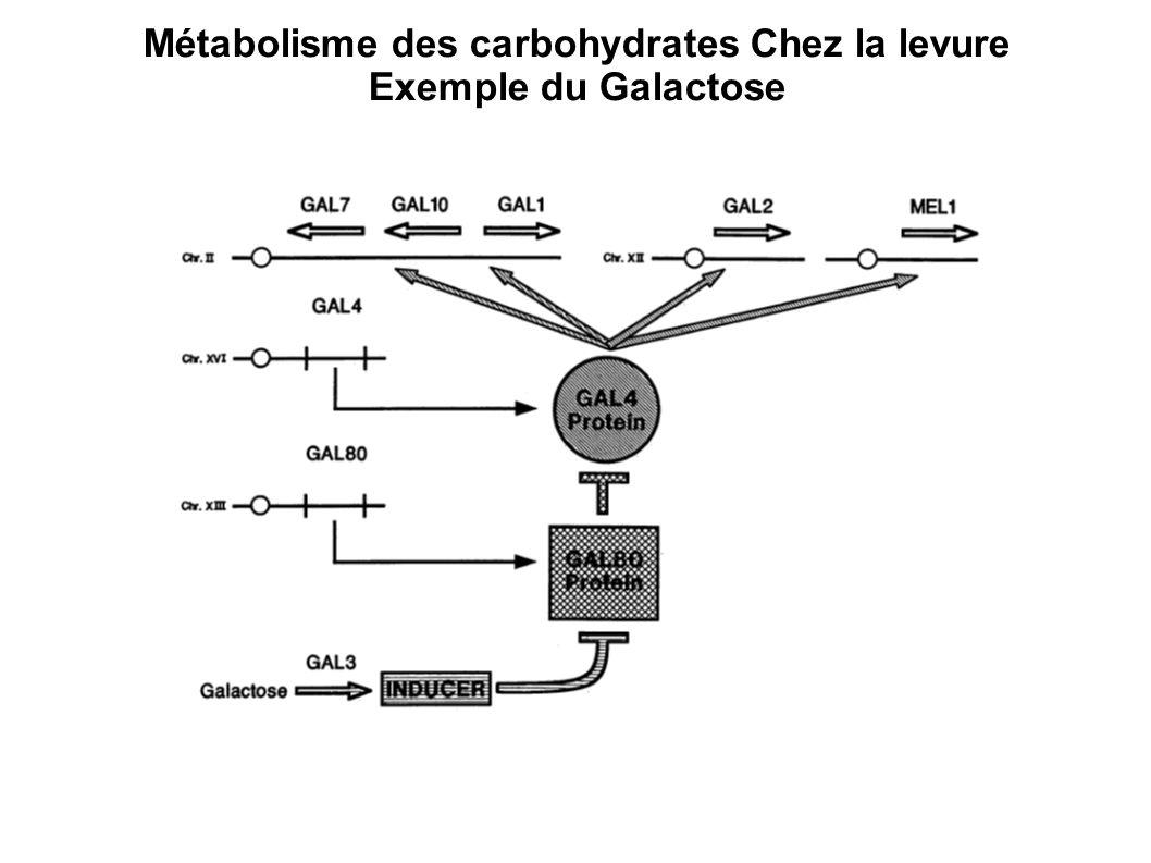 Métabolisme des carbohydrates Chez la levure