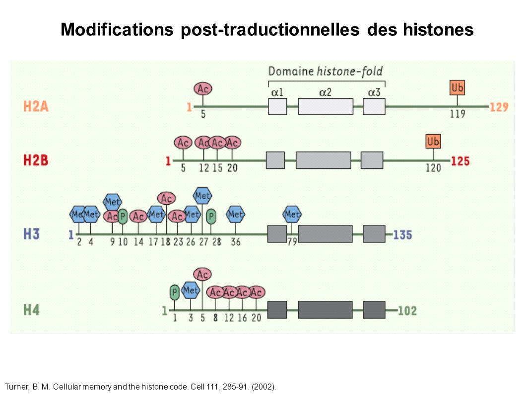 Modifications post-traductionnelles des histones