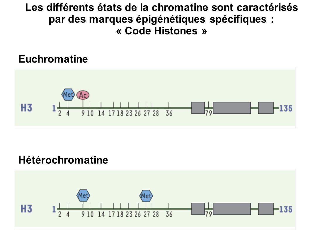 Les différents états de la chromatine sont caractérisés par des marques épigénétiques spécifiques :