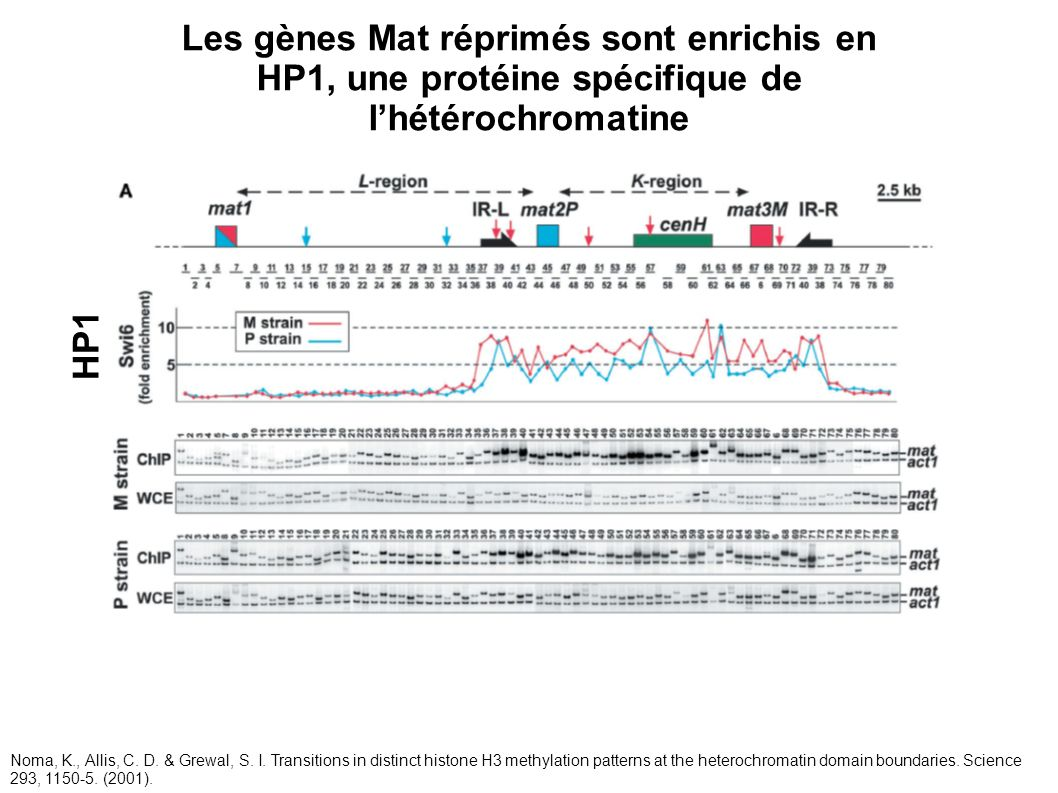 Les gènes Mat réprimés sont enrichis en HP1, une protéine spécifique de l'hétérochromatine