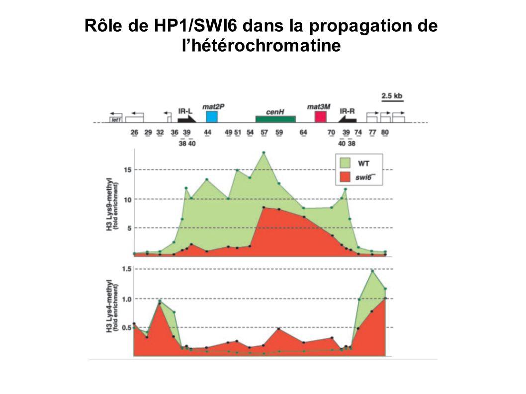 Rôle de HP1/SWI6 dans la propagation de l'hétérochromatine