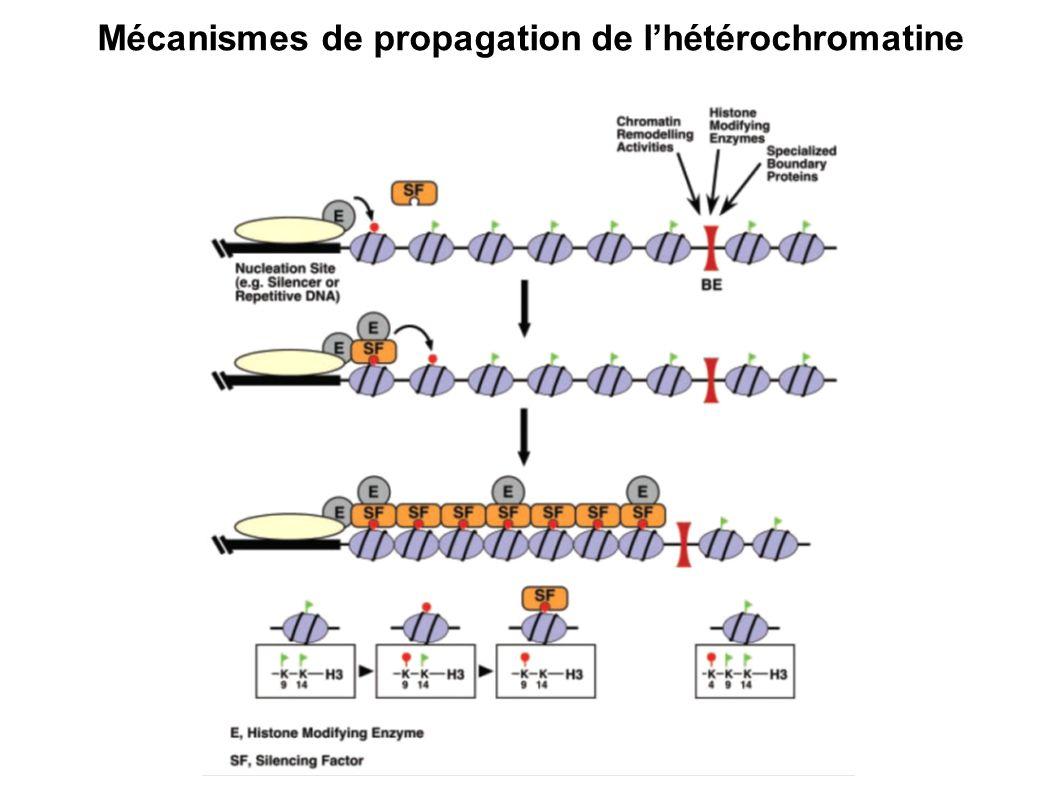 Mécanismes de propagation de l'hétérochromatine