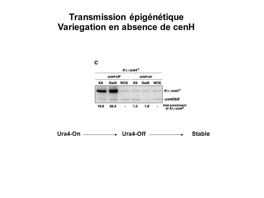 Transmission épigénétique Variegation en absence de cenH