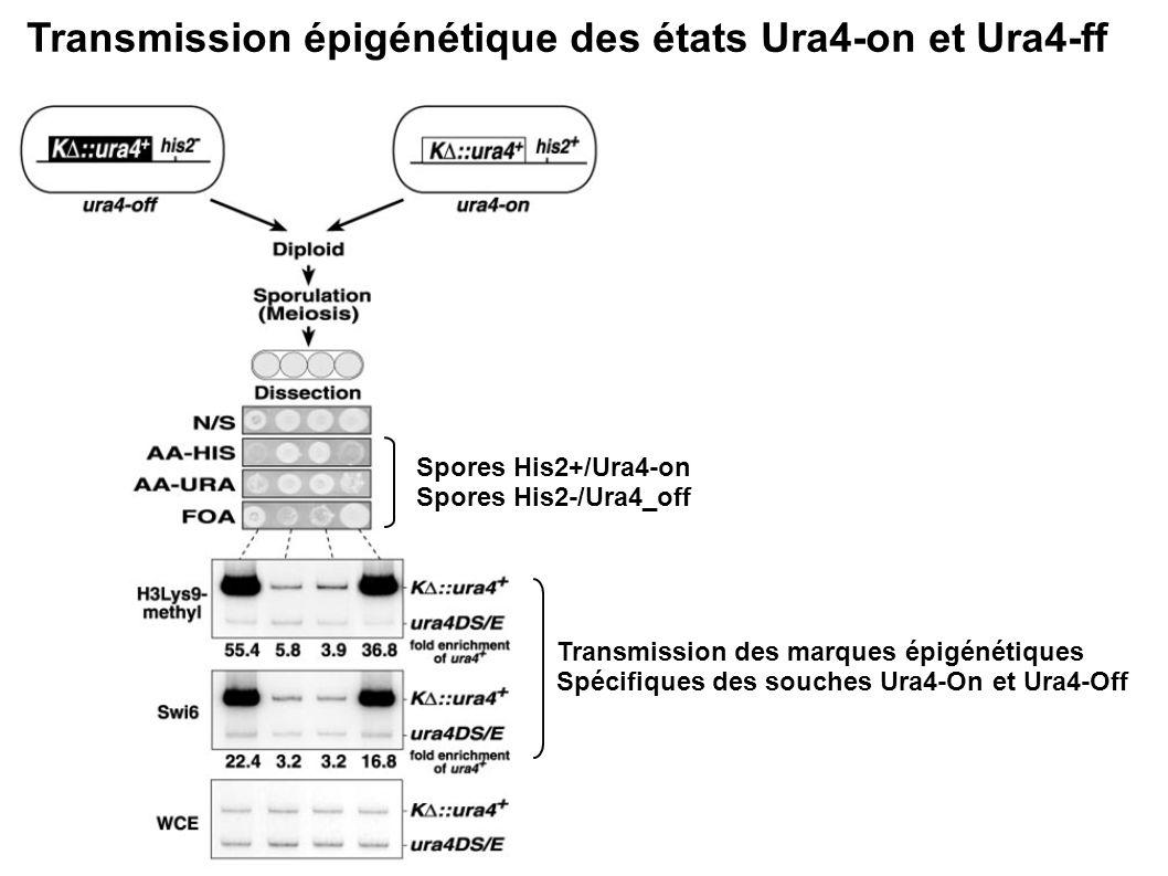 Transmission épigénétique des états Ura4-on et Ura4-ff