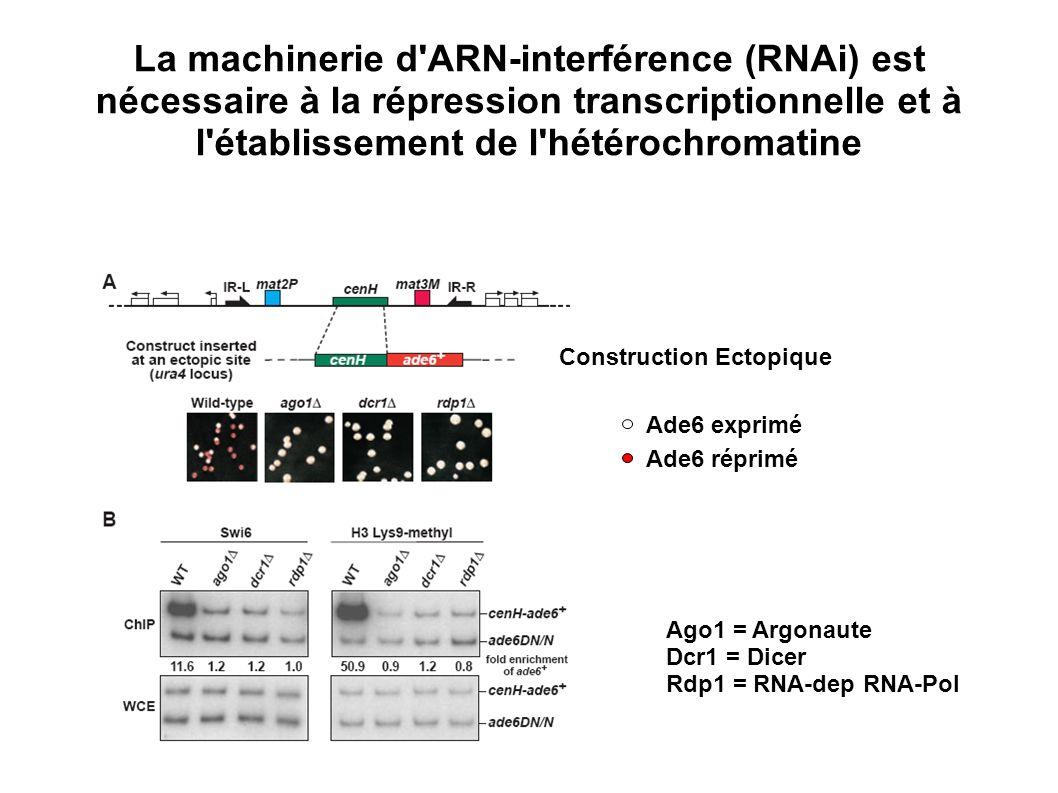 La machinerie d ARN-interférence (RNAi) est nécessaire à la répression transcriptionnelle et à l établissement de l hétérochromatine