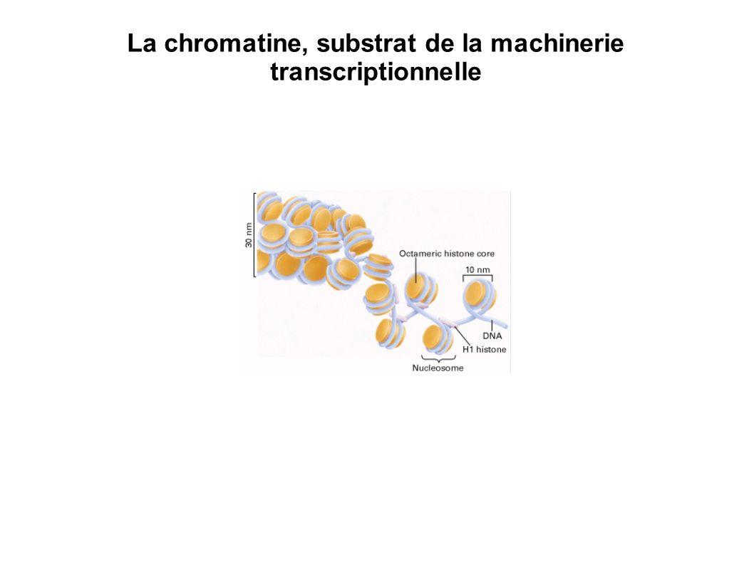 La chromatine, substrat de la machinerie transcriptionnelle
