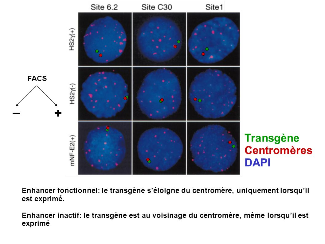 _ + Transgène Centromères DAPI FACS