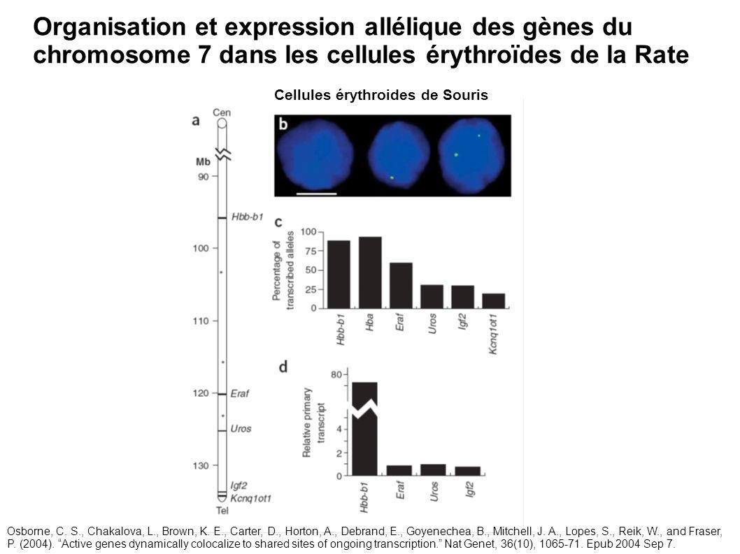 Organisation et expression allélique des gènes du chromosome 7 dans les cellules érythroïdes de la Rate