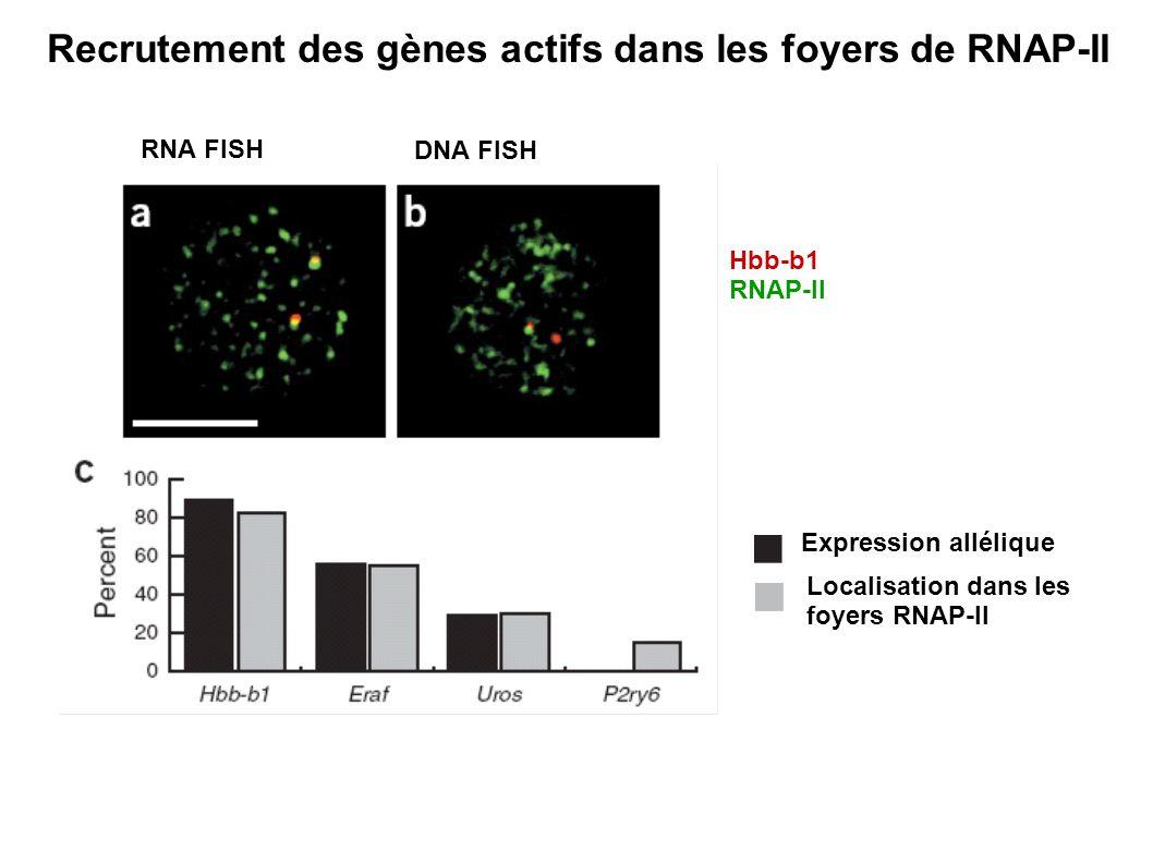 Recrutement des gènes actifs dans les foyers de RNAP-II