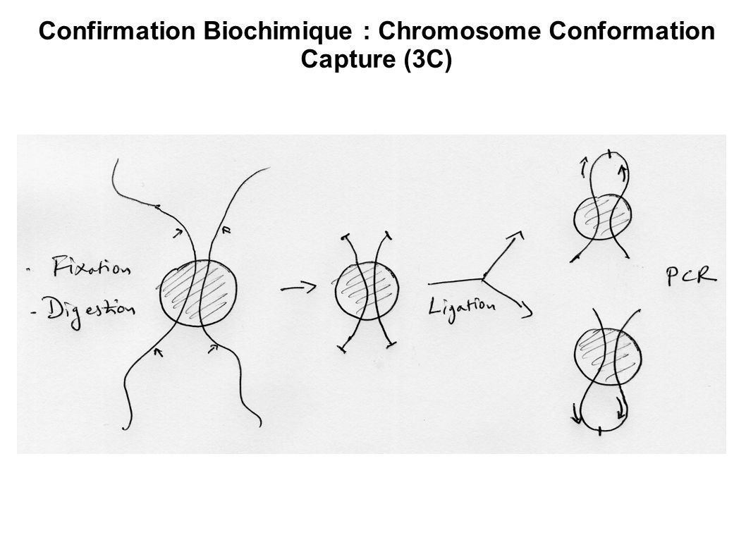 Confirmation Biochimique : Chromosome Conformation Capture (3C)