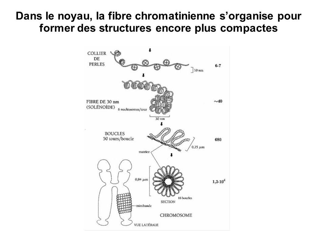 Dans le noyau, la fibre chromatinienne s'organise pour former des structures encore plus compactes