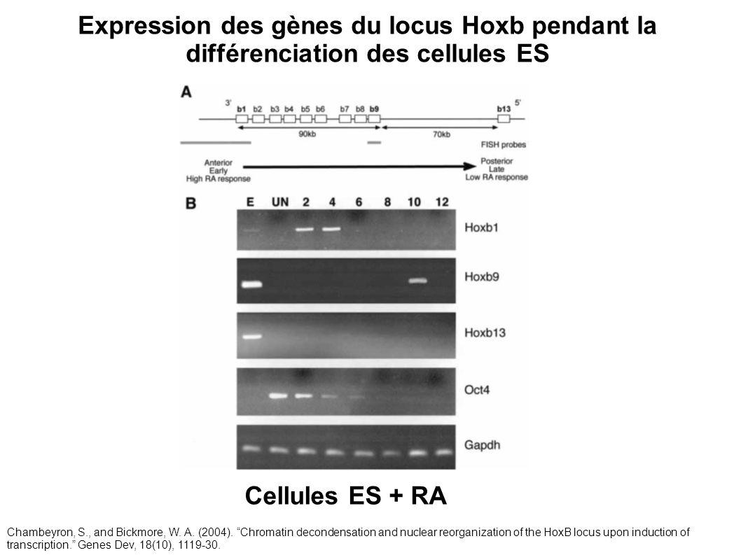 Expression des gènes du locus Hoxb pendant la différenciation des cellules ES