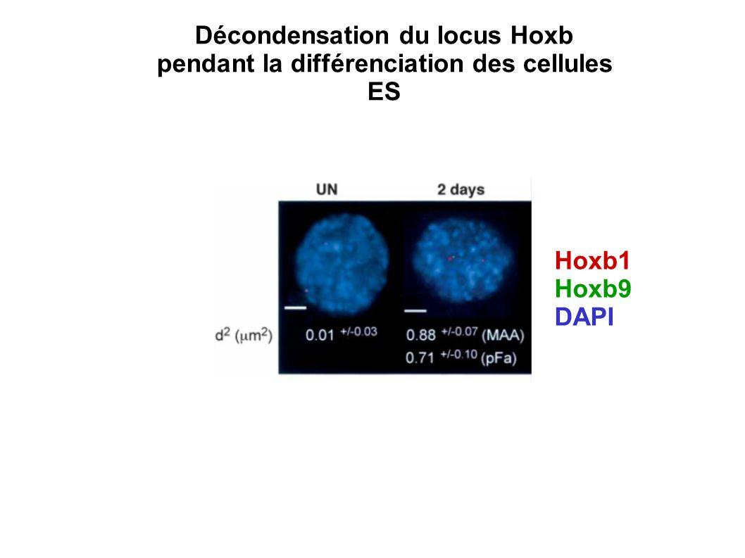 Décondensation du locus Hoxb pendant la différenciation des cellules ES