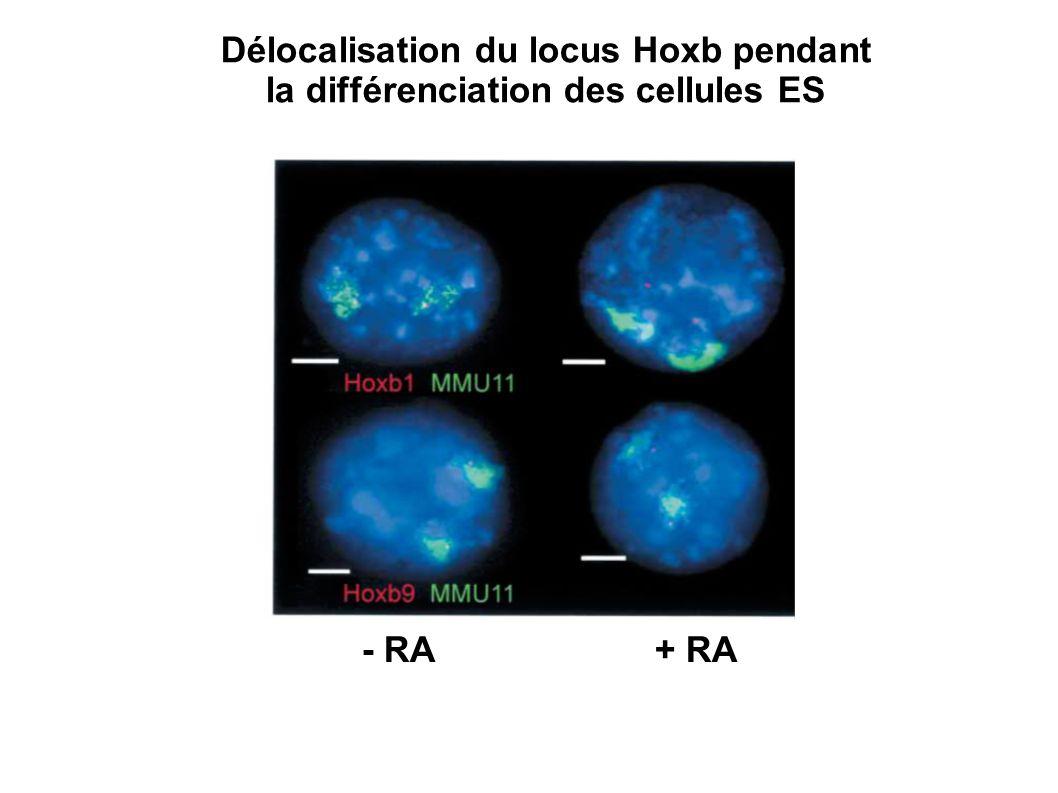 Délocalisation du locus Hoxb pendant la différenciation des cellules ES