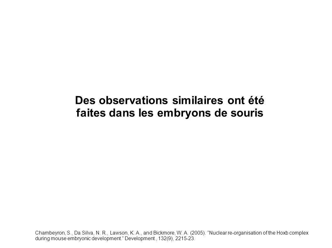 Des observations similaires ont été faites dans les embryons de souris