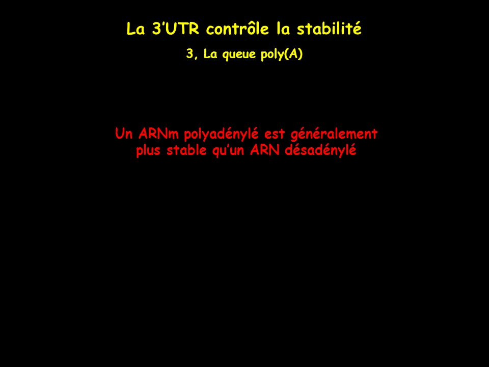 La 3'UTR contrôle la stabilité
