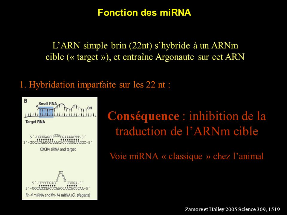 Conséquence : inhibition de la traduction de l'ARNm cible
