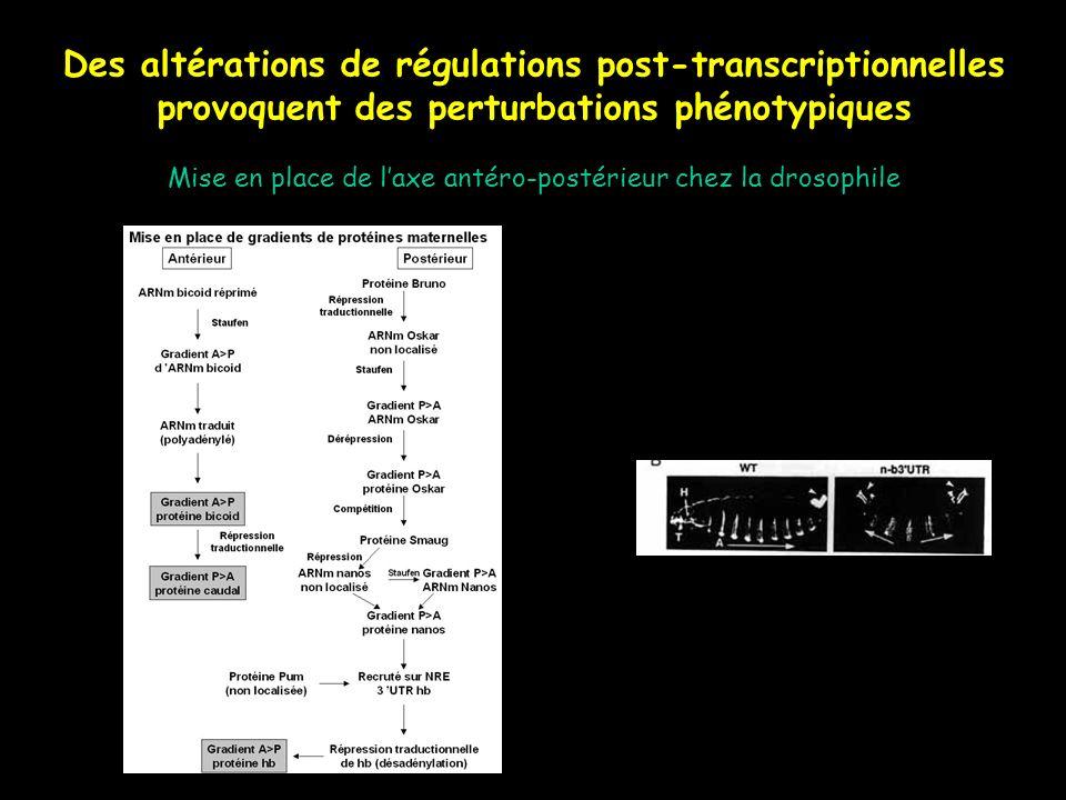 Des altérations de régulations post-transcriptionnelles