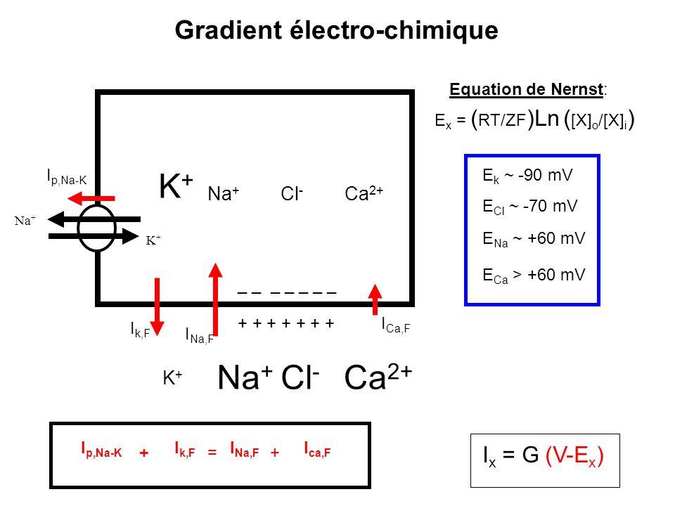 K+ Na+ Cl- Ca2+ Gradient électro-chimique Ix = G (V-Ex) Na+ Cl- Ca2+